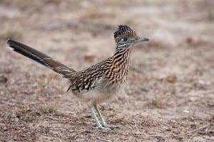 roadrunnerbird