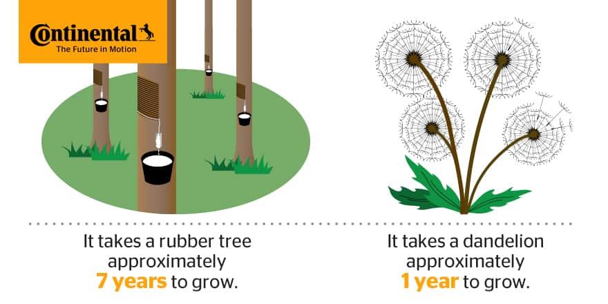 rubber-trees-vs-dandelions-5-HR